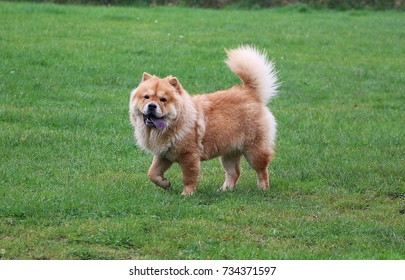 chow chow is walking in the garden