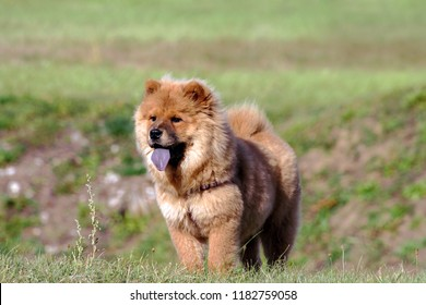 chow-chow dog breed, one puppy stand on green grass on field in nature, small black eyes look away, brown hair, blue tongue, animal is wearing a harness