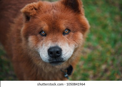 Chow-chow dog in park