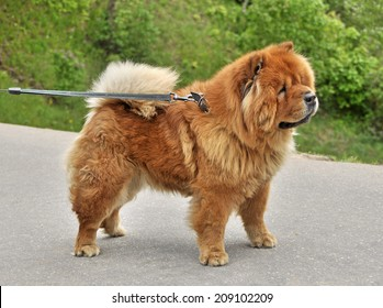 chow-chow on a leash