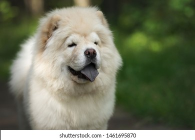 Chow-chow puppy in summer forest