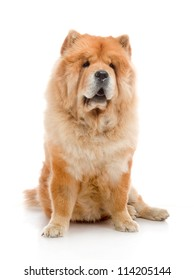Chow-Chow  in studio shot on white background