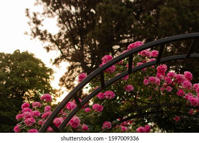 Christchurch, New Zealand - December 6 2019: Rose Archway at Sunset in the Christchurch Botanic Gardens