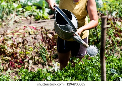A Christian woman watering the green leafy vegetables in the garden. Droplets of water pouring to the leaves of a plant. Farming Gardening Organic and Urban living ideas.