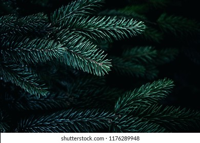 Christmas  Background with beautiful green pine tree brunch close up. Copy space.