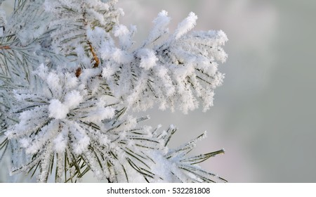 Christmas background. The branch of a pine covered with frost.