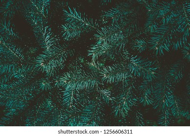 Christmas background. Green fir tree.