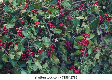 Christmas background of holly berries and leaves greenery. Traditional Xmas banner background for greeting cards in holiday season.
