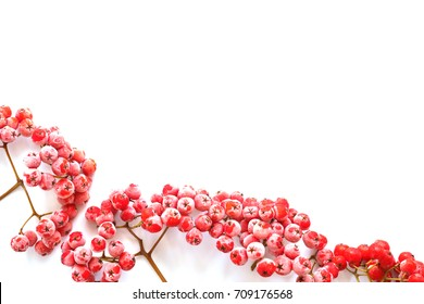 Christmas background. Red ashberry in the frost  isolated on white background.Christmas frame.