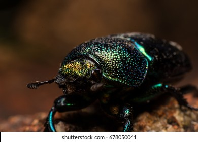 Christmas Beetle.Christmas Beetle Images Stock Photos Vectors Shutterstock
