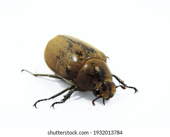 Christmas beetle insect, its scientific name is Anoplognathus