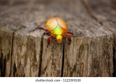 Christmas Beetle on Log - Australian