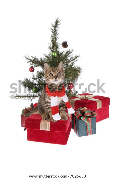 Christmas Bengal kitten wearing scarf under the tree with presents isolated on white background