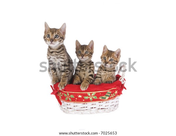 Christmas Bengal kittens in basket isolated on white background