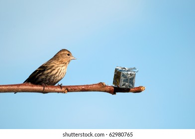 Christmas bird, pine siskin finds a shiny present left on a branch for him at Christmas time with copy space.