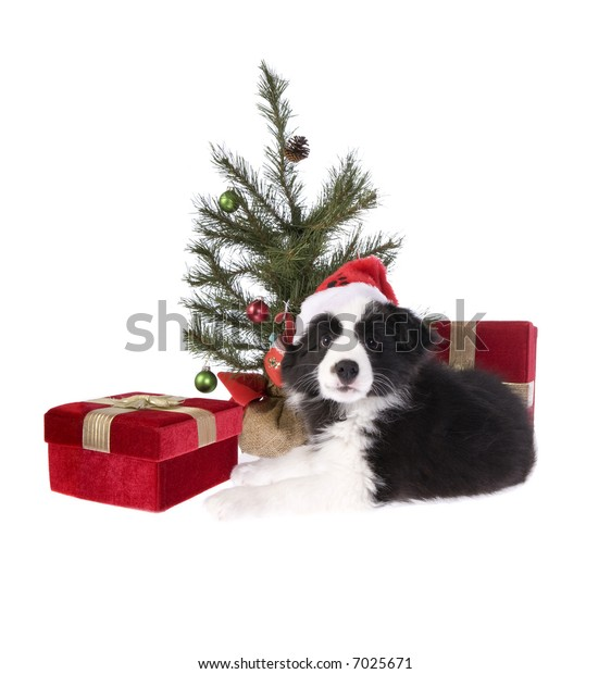 Christmas Border Collie Pup with tree and presents isolated on white background