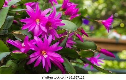Christmas cactus blooming in July