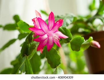 Christmas cactus flowers, Schlumbergera, view window