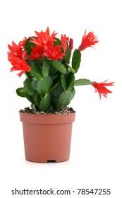 Christmas cactus on a white background. Schlumbergera.