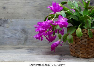 Christmas Cactus (schlumbergera) in pink, gray wooden background, copy space