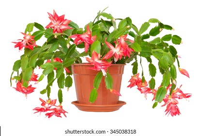 Christmas cactus (Schlumbergera) in pot isolated on white background