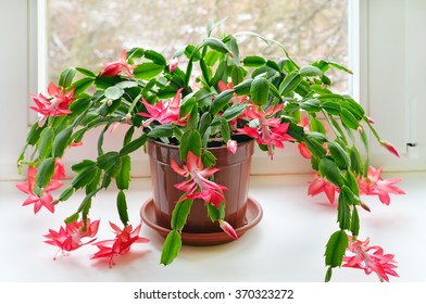 Christmas cactus (Schlumbergera) in pot on the windowsill