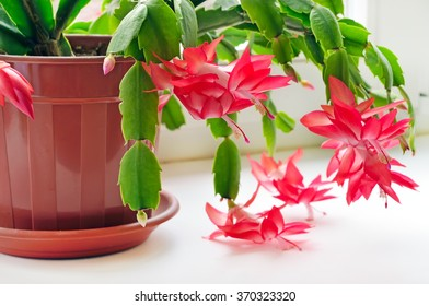 Christmas cactus (Schlumbergera) in pot on the windowsill