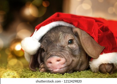 Christmas card with cute newborn santa pig piglet. Decorations symbol of the year Chinese calendar. fir background. Russian text happy new year. Holidays, winter and celebration concept