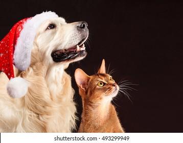 English Picture Poster Print Golden Retriever Dog Grey Persian Cat Kitten Art