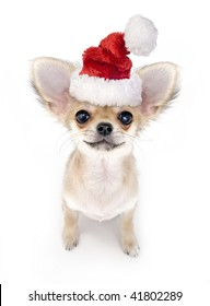 Christmas Chihuahua puppy with Santa hat on white background