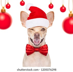 christmas chihuahua santa claus  dog isolated on white background with red  hat  for the holidays