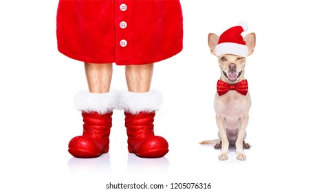 christmas chihuahua santa claus  dog isolated on white background with red  hat and boots for the holidays