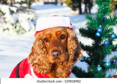 Christmas Cocker spaniel in the park