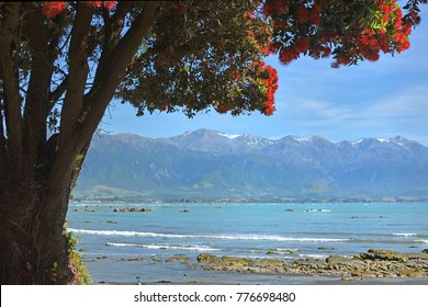 Christmas comes Early for Kaikoura. The Pohutukawa trees spring into full bloom to celebrate the opening of State Highway One  today one year, one month and one day after devastating 7.8 Earthquake.