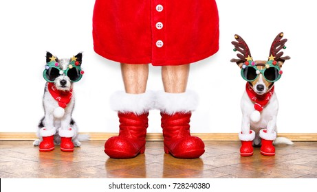 christmas couple of santa claus  dogs isolated on white background with red  boots for the holidays and funny sunglasses