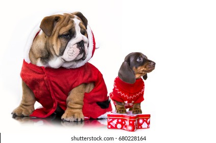 Christmas dachshund puppies and English bulldog in Santa costume