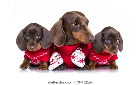 Christmas dachshund puppies  in Santa costume