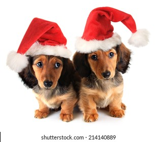 Christmas dachshund puppies wearing Santa hats.