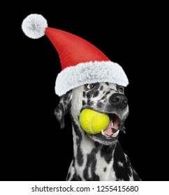 Christmas dalmatian dog with a ball. Isolated on black background
