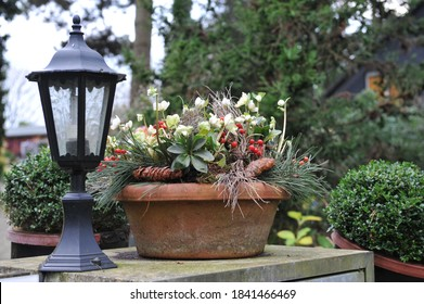 Christmas decoration in a garden. A shallow terra cotta pot with hellebore (Helleborus) and conifer cones at the entrance light