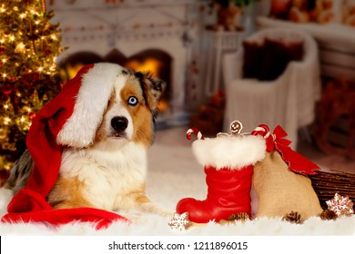 Christmas, dog Australian Shepherd lies idyllically in front of fireplace fire and Christmas tree with Christmas boots and gifts on Christmas Eve or St. Nicholas.