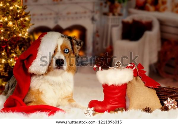 Christmas Dog Australian Shepherd Lies Idyllically Stock Photo Edit