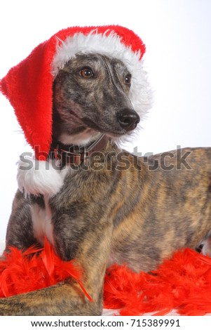 d476fab96b556 Christmas dog . Cut portrait of laying brown Whippet dog with santa hat.  Isolated on