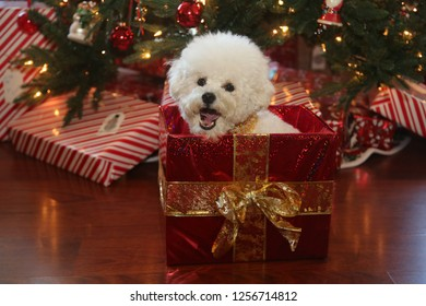 Christmas Dog. A cute white dog sits in a Christmas Box with red wrapping paper and a gold bow. Christmas pets.