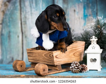 Christmas dog dachshund