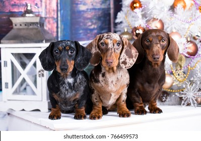Christmas dog dachshunds