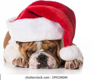christmas dog - english bulldog wearing santa hat on white background
