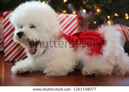 Red Small Now1261148077 White Stock Christmas Photoedit Dog m8NvnO0w