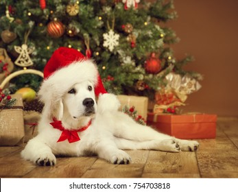 Christmas Dog, White Puppy Retriever in Santa Hat Lying under Xmas Tee, New Year Pet in Present Gifts