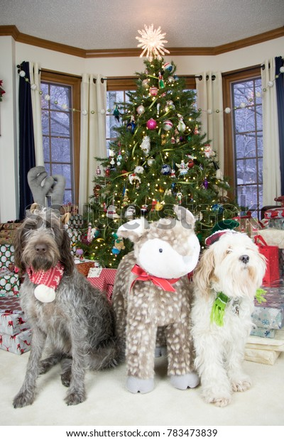christmas doggies- wirehaired pointing griffon and tibetan terrier